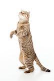 El gato juguetón se está colocando Fotografía de archivo