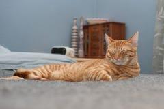 El gato le gusta la cama de la gente Imagen de archivo