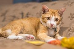 El gato lindo anaranjado Fotos de archivo libres de regalías