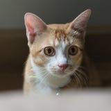 El gato lindo anaranjado Foto de archivo
