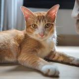 El gato lindo anaranjado Fotos de archivo