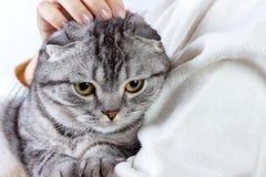 El gato lindo del jengibre duerme calentándose en suéter de punto en las manos de su dueño Gatito escocés fotografía de archivo
