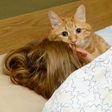 El gato lindo duerme con su señora Foto de archivo