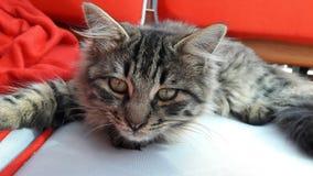 El gato lindo está descansando imágenes de archivo libres de regalías