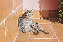 El gato lindo perezoso adulto del gato atigrado toma el sol en sol de la mañana en balcón fotos de archivo