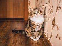 El gato lindo se está sentando en el piso de madera Imagen de archivo