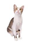 El gato lindo se está sentando en un fondo blanco y está mirando para arriba Imagenes de archivo