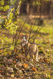 El gato marrón hermoso caza en una hierba verde y Fotografía de archivo