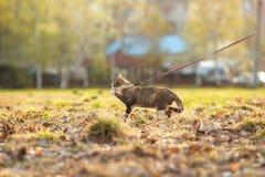 El gato marrón hermoso caza en una hierba verde y Foto de archivo