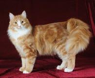 El gato mezclado de la casta se coloca en fondo del terciopelo Imagenes de archivo