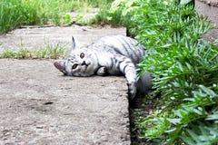 El gato miente en hierba verde en el fondo del jardín del verano Fotos de archivo libres de regalías