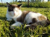 El gato miente en la hierba verde fotos de archivo