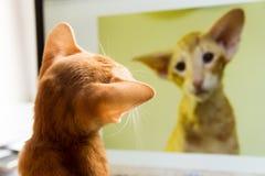 El gato mira se en el monitor fotografía de archivo libre de regalías