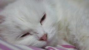 El gato mullido blanco miente en una cama pet almacen de video