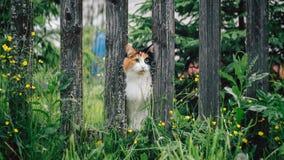 El gato mullido blanco-rojo pegó su bozal entre los tableros en la cerca fotos de archivo