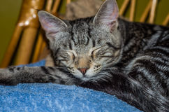 El gato mullido gris encantador con los ojos se cerró, durmiendo en una silla Imágenes de archivo libres de regalías
