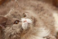 El gato mullido mira para arriba Imagen de archivo libre de regalías