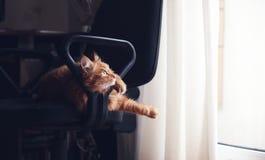 El gato mullido rojo lindo hermoso miente en silla, animales domésticos y piel de la oficina fotos de archivo libres de regalías