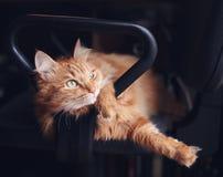 El gato mullido rojo lindo hermoso miente en silla, animales domésticos y piel de la oficina fotografía de archivo libre de regalías