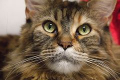 El gato multicolor mira cuidadosamente la cámara mapache grande de gato-Maine fotos de archivo