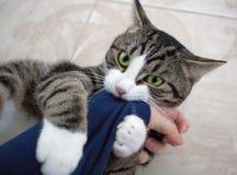 El gato nacional del animal doméstico con los ojos verdes claros juega el brazo penetrante Imágenes de archivo libres de regalías