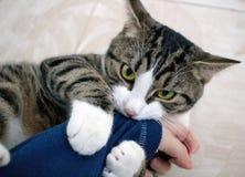 El gato nacional del animal doméstico con los ojos verdes claros juega la manga penetrante Fotografía de archivo
