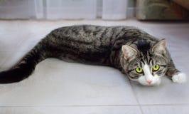 El gato nacional del animal doméstico con los ojos verdes claros miente en piso Imagen de archivo libre de regalías