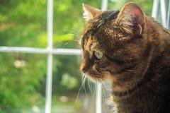 El gato nacional rayado adulto hermoso del gato atigrado se sienta por el ingenio de la ventana Imagen de archivo