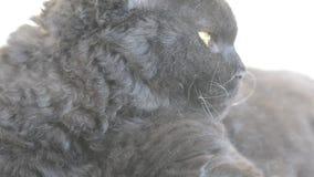 El gato negro con amarillo observa al aire libre El gato negro miente afuera en el balcón, mirando Selkirk Rex almacen de video