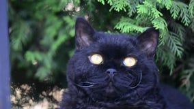 El gato negro con amarillo observa al aire libre El gato negro miente afuera en la hierba que mira el cerco Selkirk Rex almacen de video