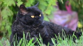 El gato negro con amarillo observa al aire libre El gato negro miente afuera en la hierba que mira el cerco Selkirk Rex metrajes