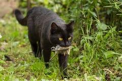 El gato negro con un pájaro cogió en la boca fotos de archivo