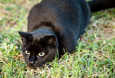 El gato negro de Brown con amarillo observa el ataque repentino mientras que caza imagen de archivo libre de regalías