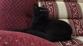 El gato negro divertido se lava, miente, se lame Brit?nico mullido hermoso con los ojos amarillos almacen de metraje de vídeo