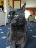 El gato negro se sentó en una alfombra en una casa Imagenes de archivo