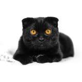 El gato negro serio del primer con amarillo observa en oscuridad Negro de la cara Imagen de archivo