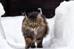 El gato noruego del bosque corre a través de la alta nieve imagenes de archivo