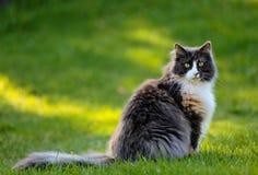El gato noruego del bosque se sienta en hierba Foto de archivo