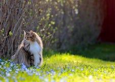 El gato noruego del bosque se sienta en hierba con las flores del scilla Fotos de archivo libres de regalías
