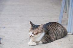 El gato pelado marrón soñoliento lindo gordo grande se sienta en un sueño del día del piso foto de archivo libre de regalías