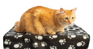 El gato pelirrojo de pelo largo con la naranja observa el blanke negro foto de archivo