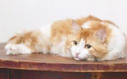 El gato pensativo rojo está en la tabla Imagen de archivo