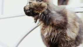 El gato perdido hambriento sucio pide comer en la calle metrajes