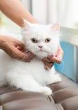 El gato persa blanco le gusta rasguñar la barbilla Imagenes de archivo