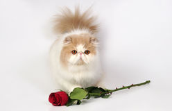 El gato persa con se levantó Fotos de archivo