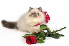 El gato persa con se levantó Foto de archivo