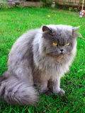 El gato persa se sienta en la hierba verde fotografía de archivo
