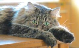 El gato que miente en la tabla Fotografía de archivo libre de regalías