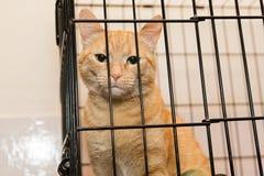 El gato rayado anaranjado está triste Fotografía de archivo
