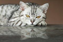 El gato rayado con los ojos del amarillo mira para arriba una cámara Imagenes de archivo
